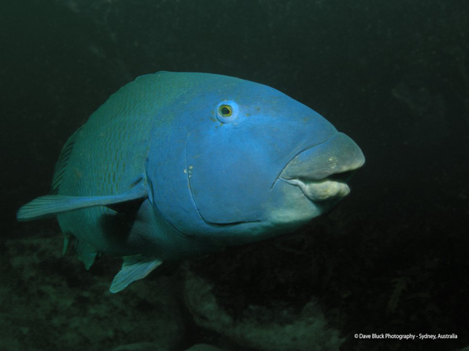 Blue Grouper