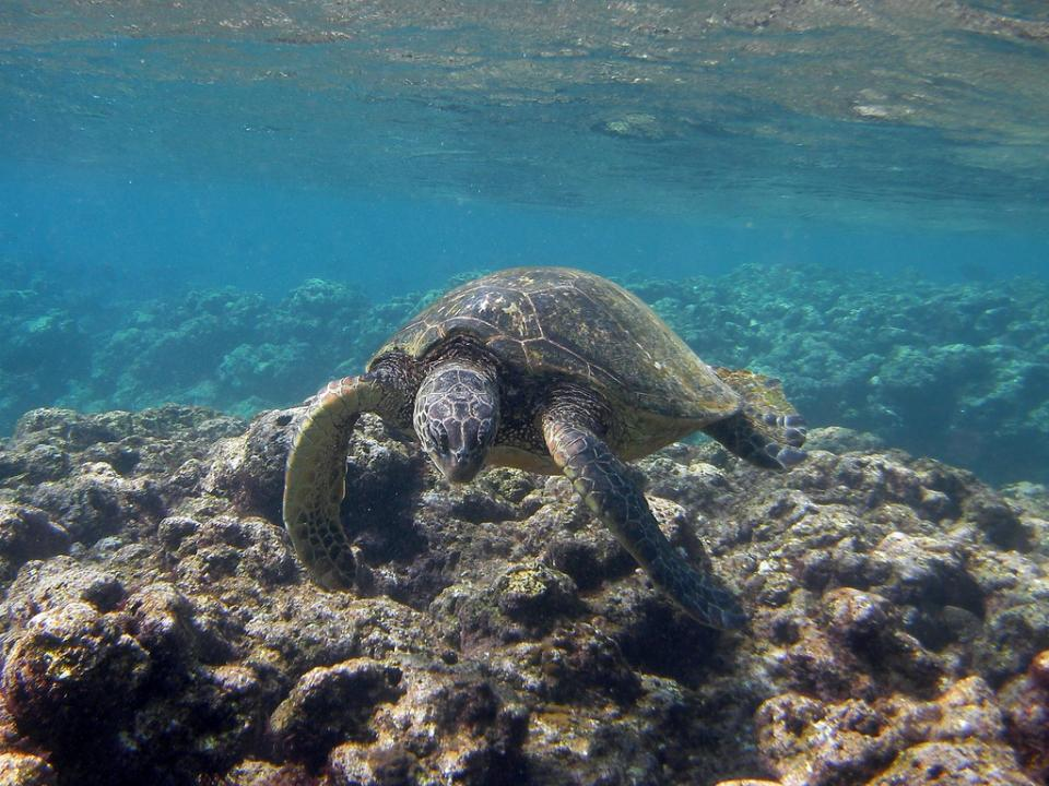 turtle swimming over a reef